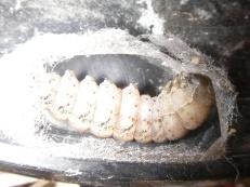 Moth caterpillar